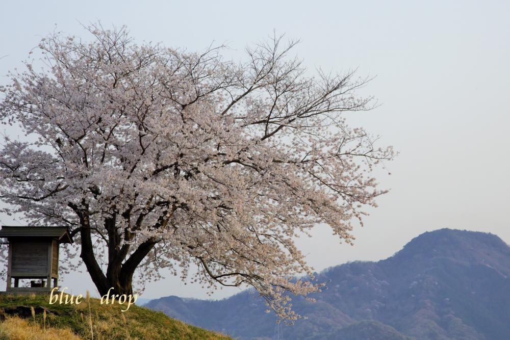 空に立つ桜