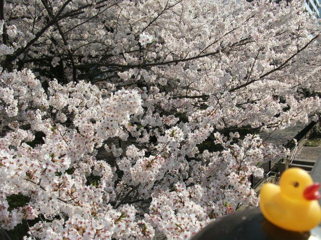 店裏隅田川テラス桜散る前とアヒル 1