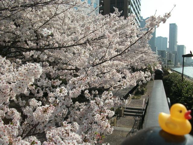店裏隅田川テラス桜散る前とアヒル 2