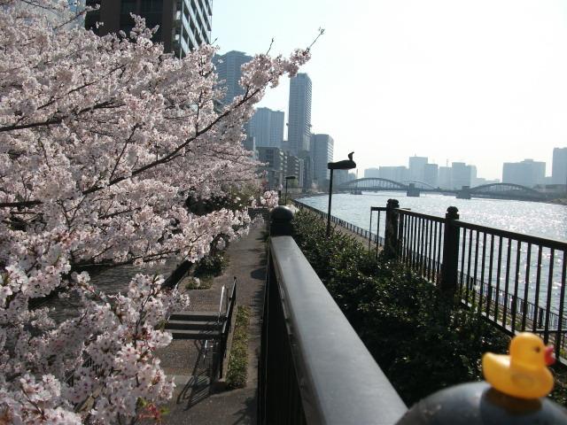 店裏隅田川テラス桜散る前とアヒル 4