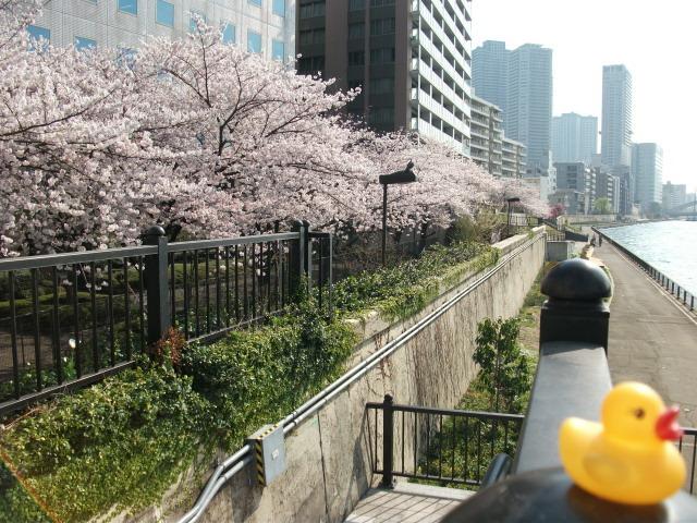 店裏隅田川テラス桜散る前とアヒル 3