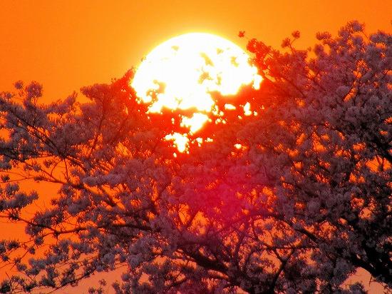 桜の大樹に没する夕陽