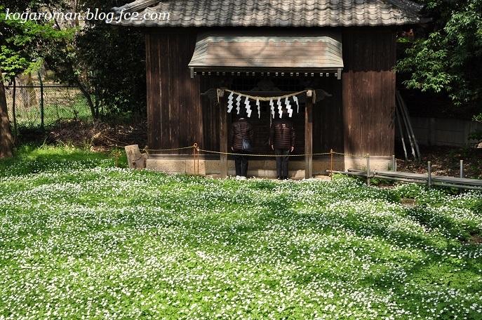 野木神社のニリンソウ