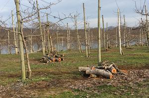 雄々と流れる北上川を背景に、りんご園