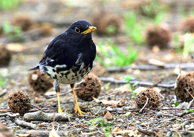 クロツグミ - 東西南北-----野鳥...