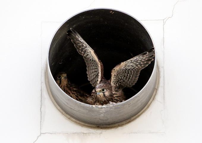 羽広げる6815