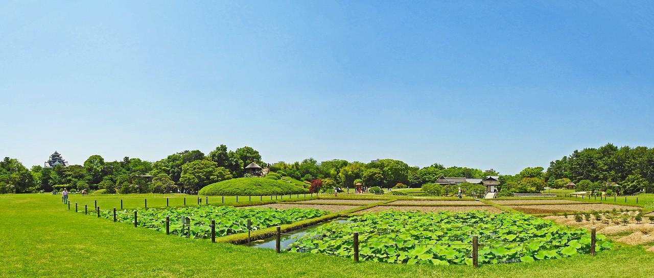 20180602 後楽園今日の井田の大賀蓮の様子ワイド風景 (1)