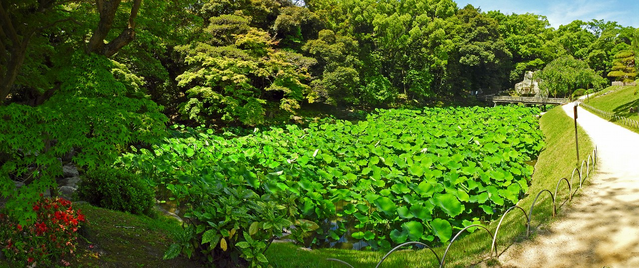 20180604 後楽園今日の花葉の池の様子夏型のワイド風景 (1)