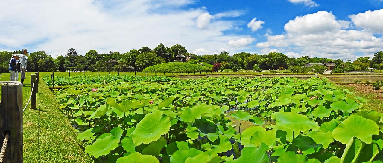 20180607 後楽園今日の井田の大賀蓮の花の様子ワイド風景 (1)