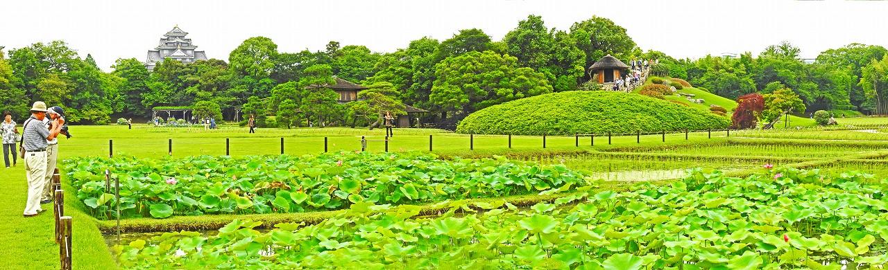 20180621 後楽園井田の今日の大賀蓮の花の様子ワイド風景 (1)