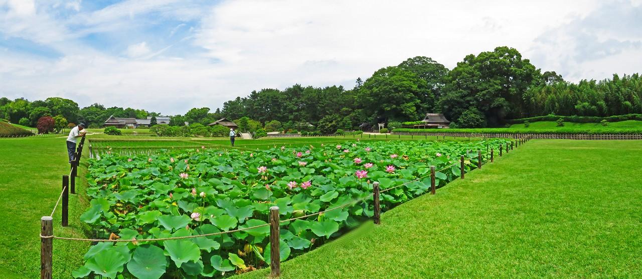 20180628 後楽園今日の井田の大賀蓮の花の様子ワイド風景 (1)