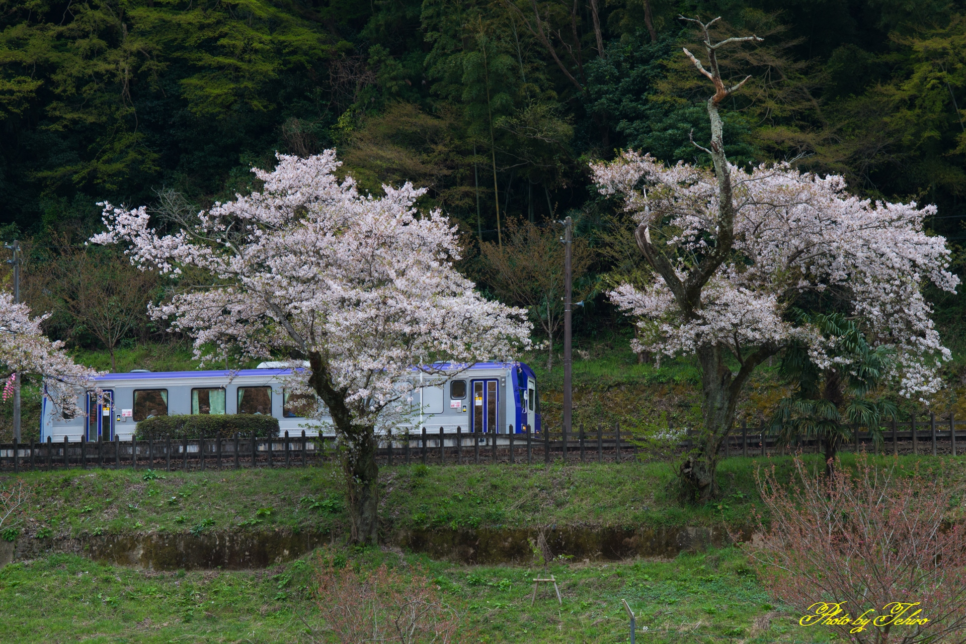桜とキハ120形