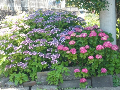 安並水車の里 紫陽花まつり