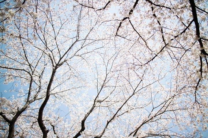 2018.03.31 桜