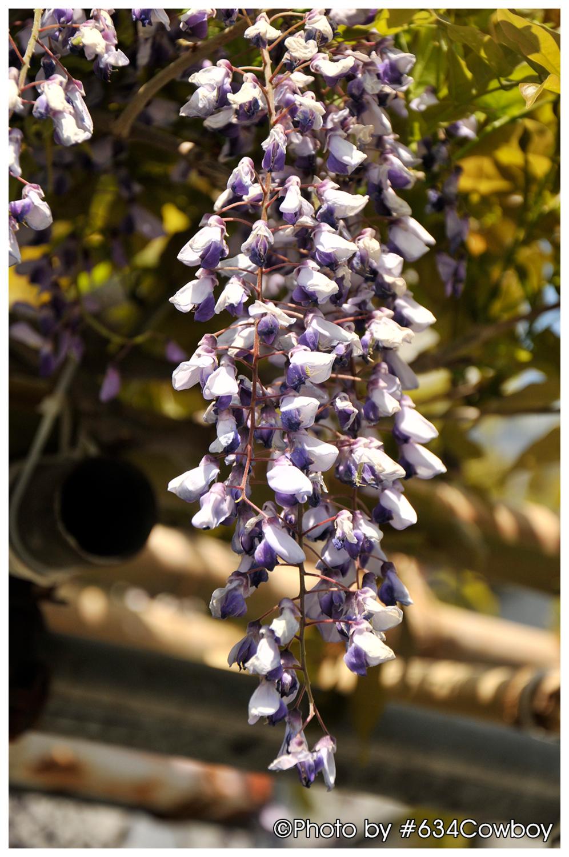軒先に咲く藤 写真