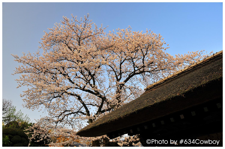 山門と桜 写真