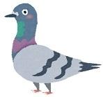 bird_hato0519.jpg