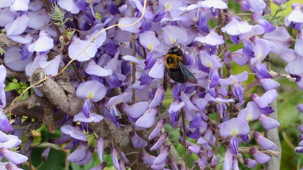 1ミツバチIMG_4295