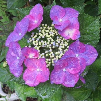 8紫陽花IMG_4435