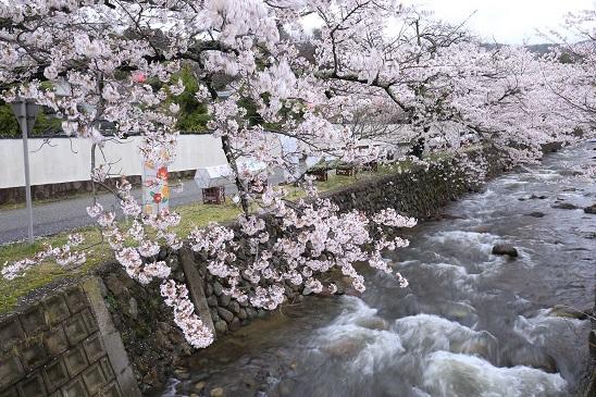真野公園桜1