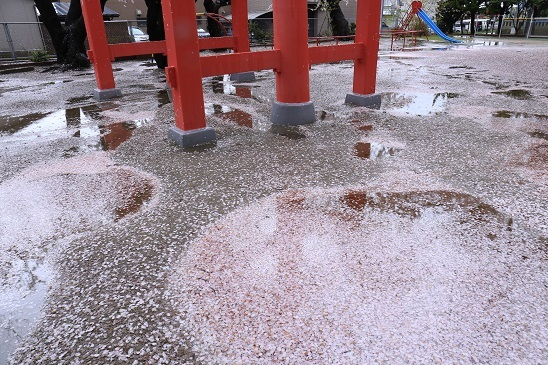 湊保育所桜1