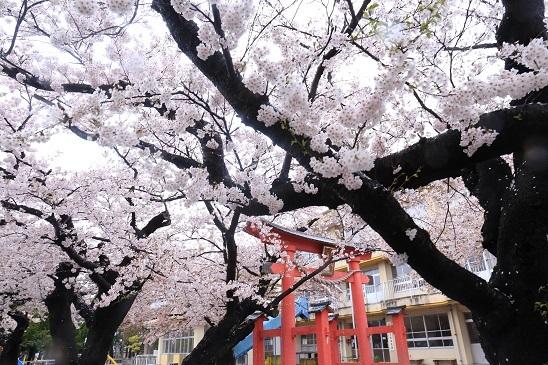 湊保育所桜2