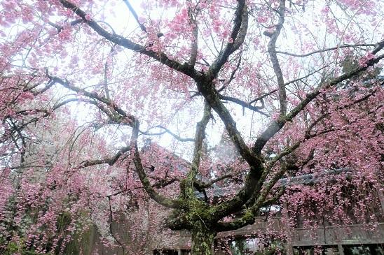 妙宣寺枝垂桜1