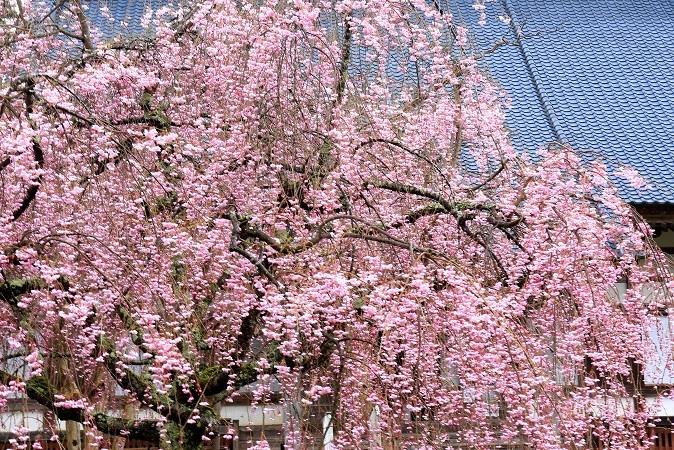 妙宣寺枝垂桜2