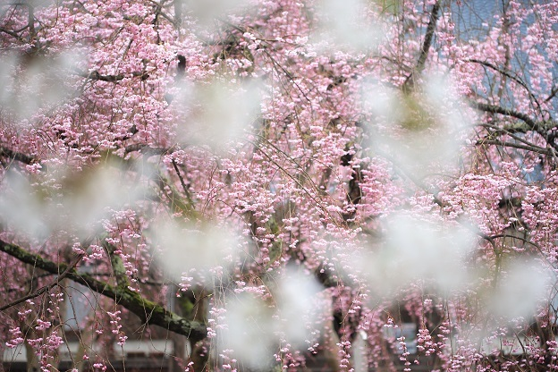妙宣寺枝垂桜3