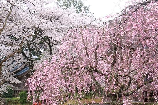 妙宣寺枝垂桜とソメイヨシノ