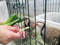 イワシャコたちも小松菜大好き