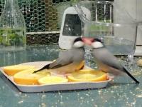 文鳥とオレンジ