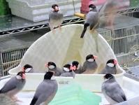 文鳥大浴場