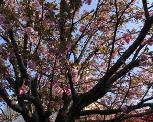 通勤途中の桜