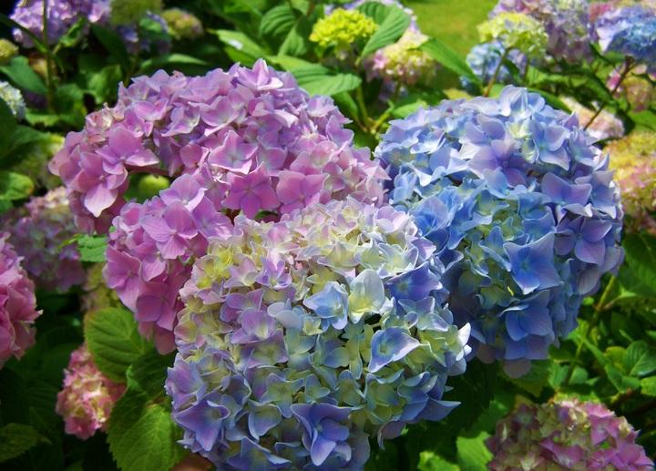 plant-flower-pink-hydrangea-flower-garden-flowering-plant-1073267-pxhere-com.jpg