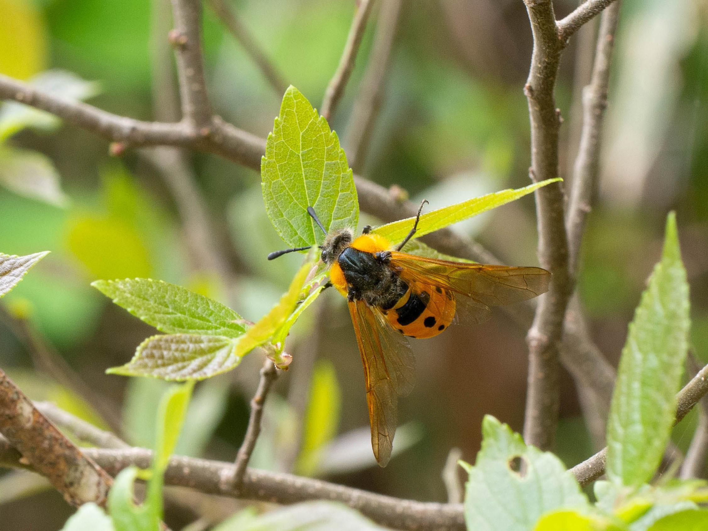 ホシアシブトハバチ