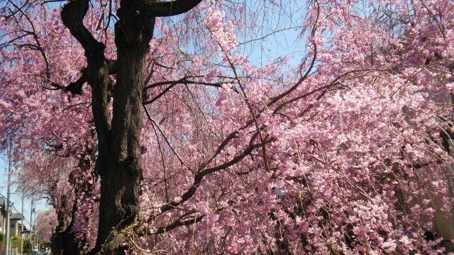 小手指の枝垂れ桜