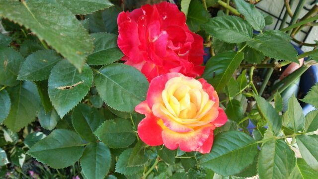 2018年5月薔薇おぢさん宅の薔薇