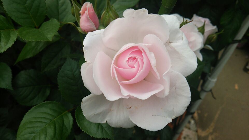淡いピンクの薔薇(薔薇おぢさん宅より)