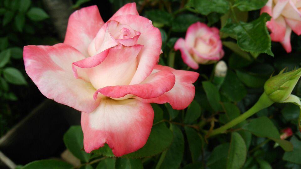 薔薇おぢさん宅の1番咲きの薔薇