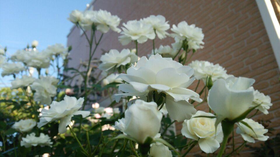 2018年7月2日ゾロ本誌復活記念日の白い薔薇