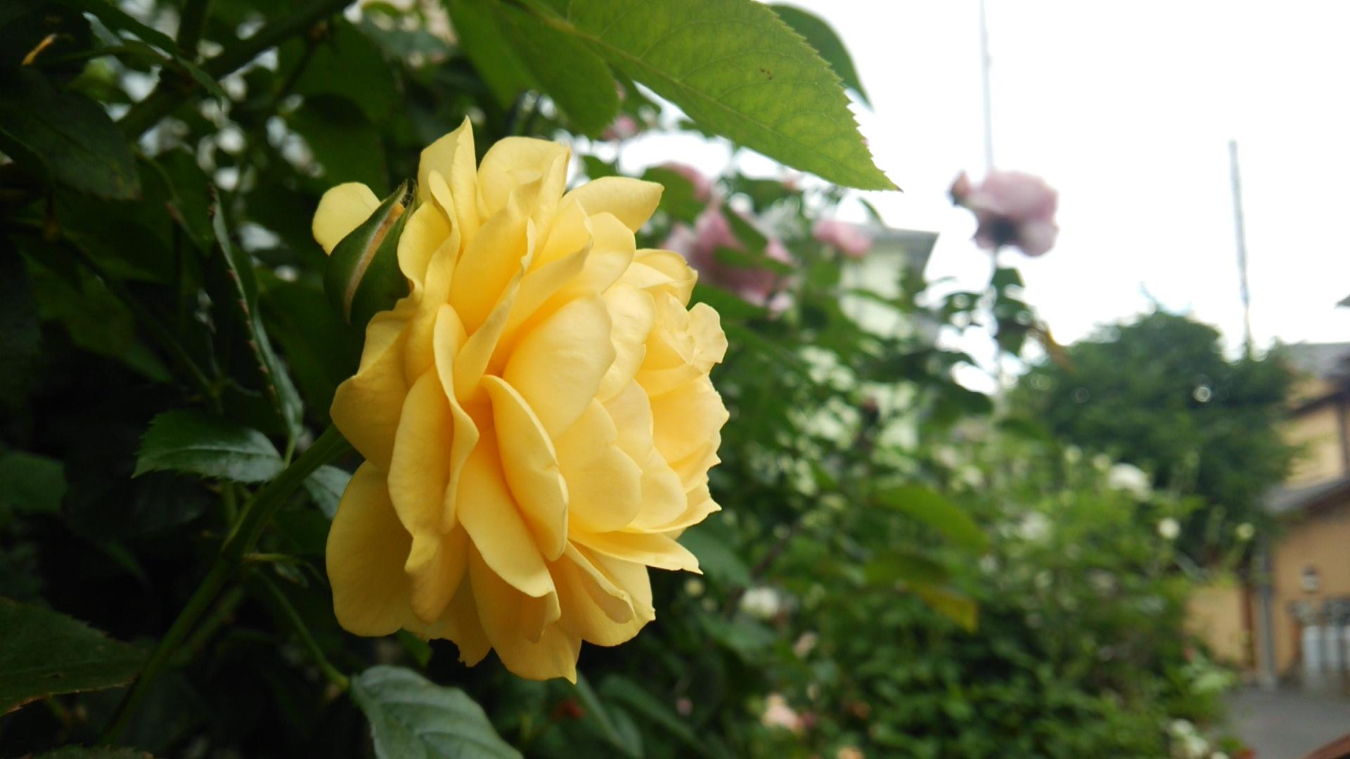 薔薇おぢさん宅の2番薔薇
