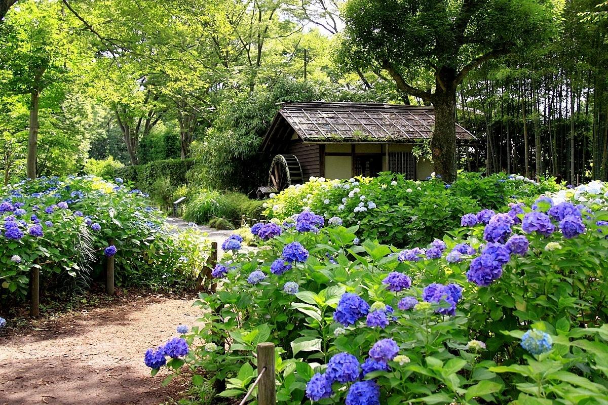 IMG_9182水車小屋と紫陽花○済