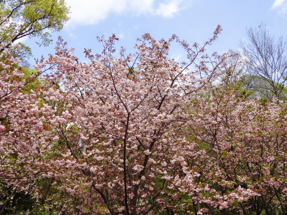 八重桜DSC00878