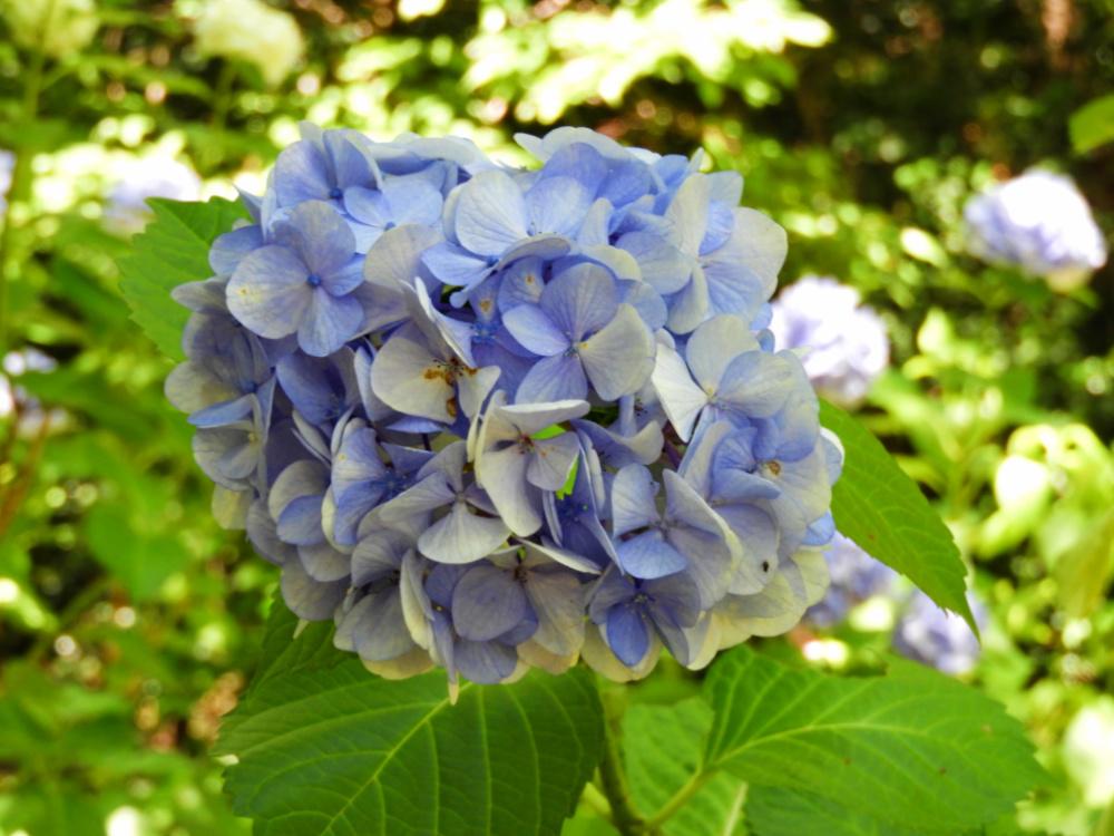 紫陽花DSCN9812