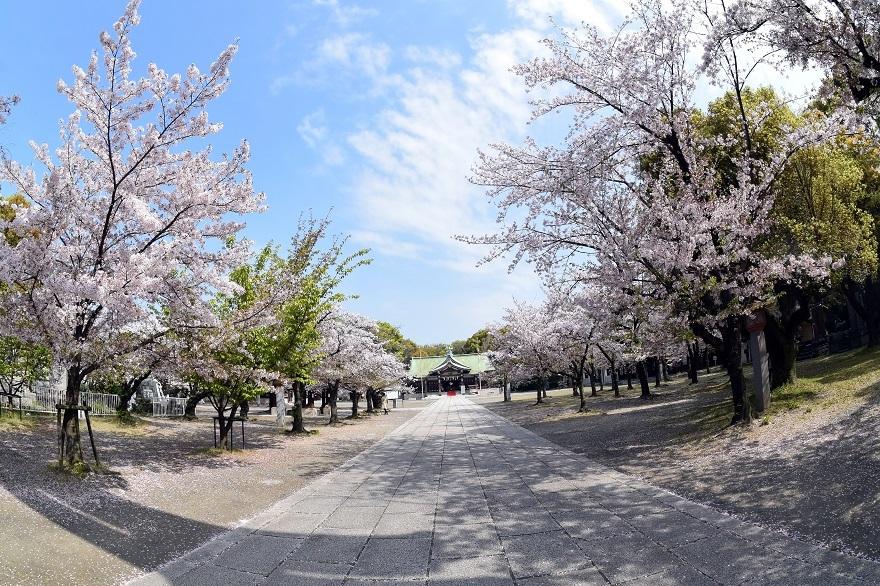 大阪護国・桜 (3)