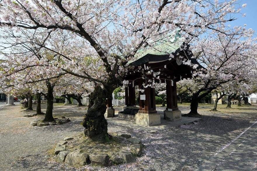 大阪護国・桜 (4)