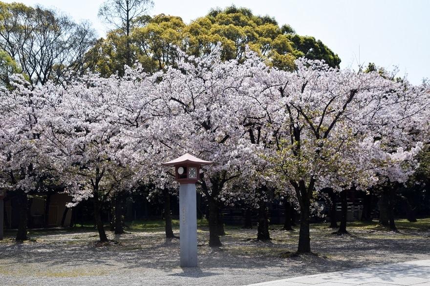 大阪護国・桜 (5)