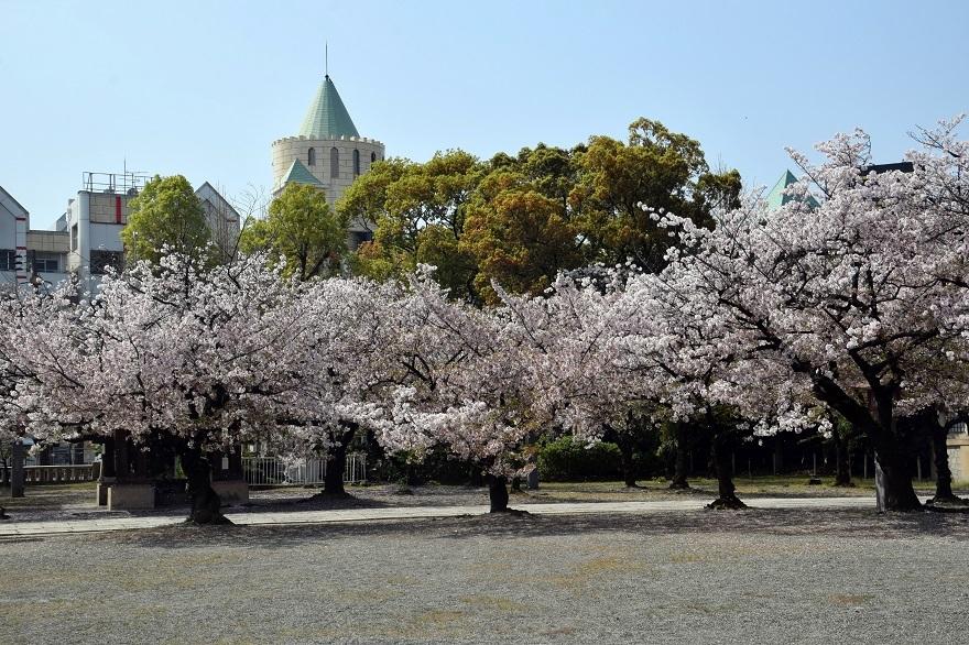大阪護国・桜 (9)