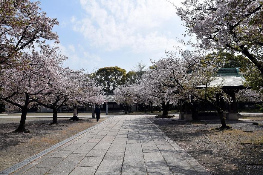 大阪護国・桜 (13)